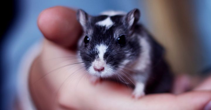This cute mouse has black-and-white piebald patterning.