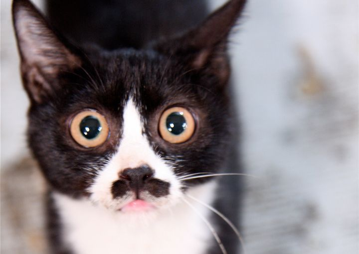 """A new study exploreshow mammals get piebald patches on their fur, like the""""tuxedo"""" cat seen here."""