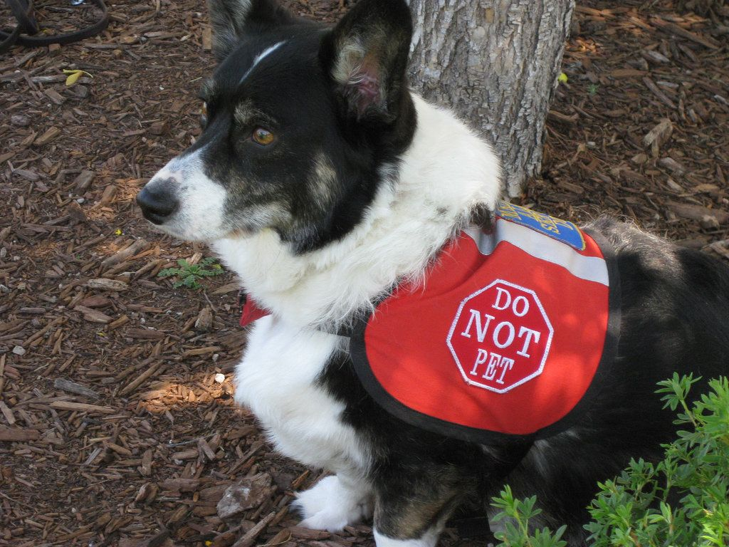 This service dog is wearing a sign that identifies him as such, but not all service dogs wear signs when they're working. Mem