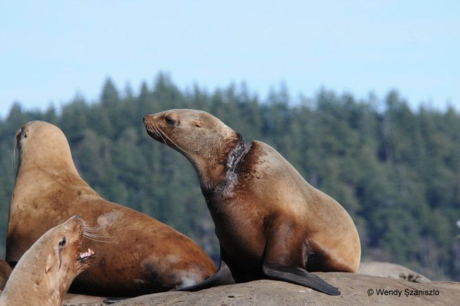 Stellar sea lion with severe entanglement neck injury observed east of Vancouver Island in 2014.