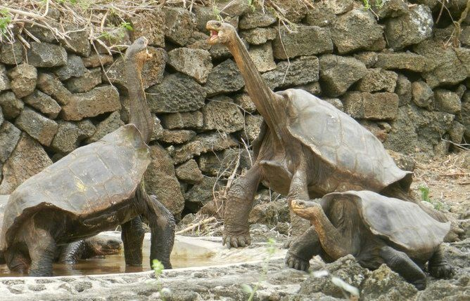 Giant tortoises relocated by our expedition from the Volcano Wolf, Isabela Island, to the captive breeding program of the Gal