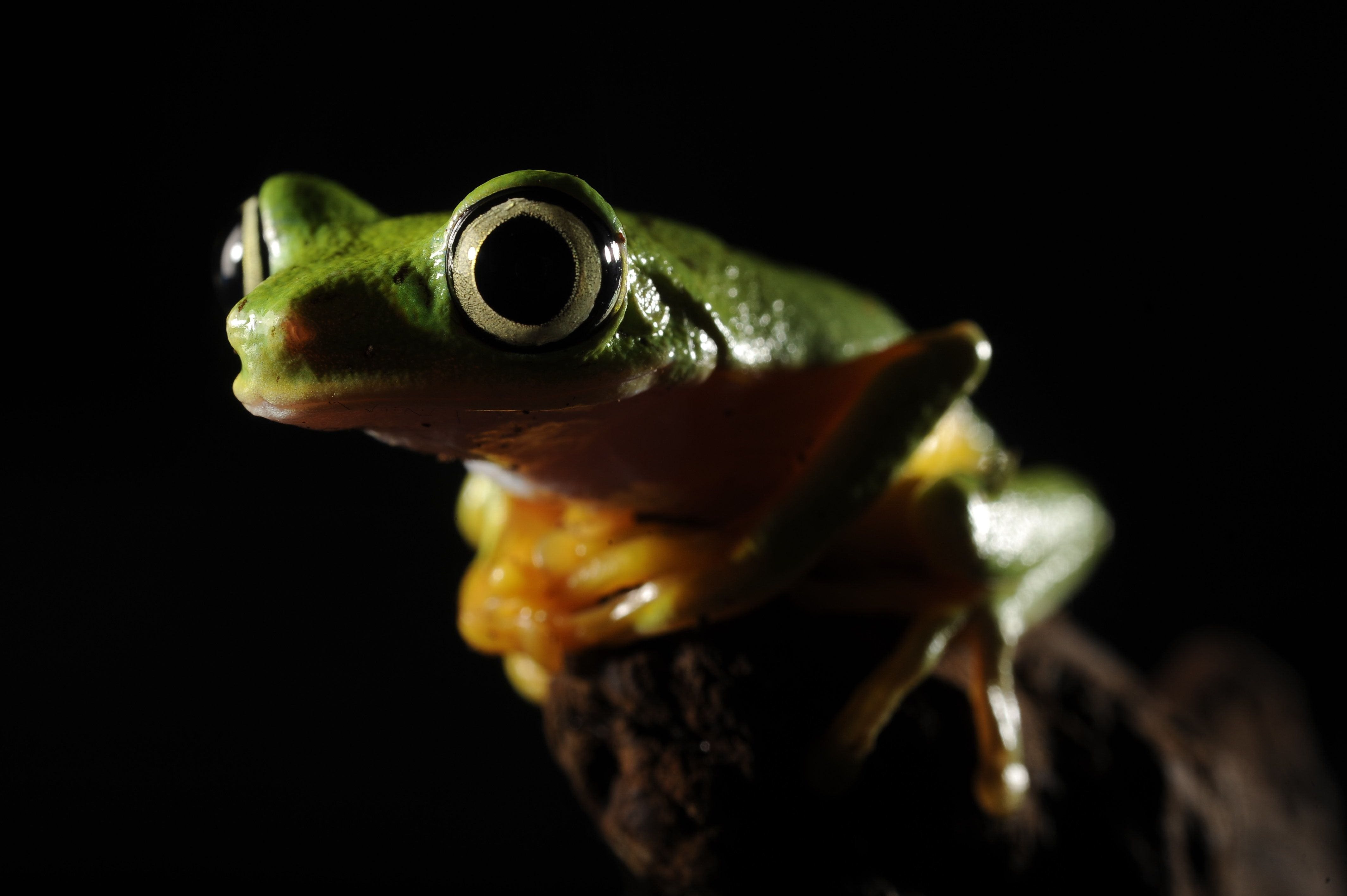 WASHINGTON, DC - July 25: A lemur leaf frog is seen at the Reptile Discovery Center at the Smithsonian National Zoological Park on Monday July 25, 2011 in Washington, DC. This type of frog is from Panama. STATUS: CRITICALLY ENDANGERED. (Photo by Matt McClain/For The Washington Post via Getty Images)Post)