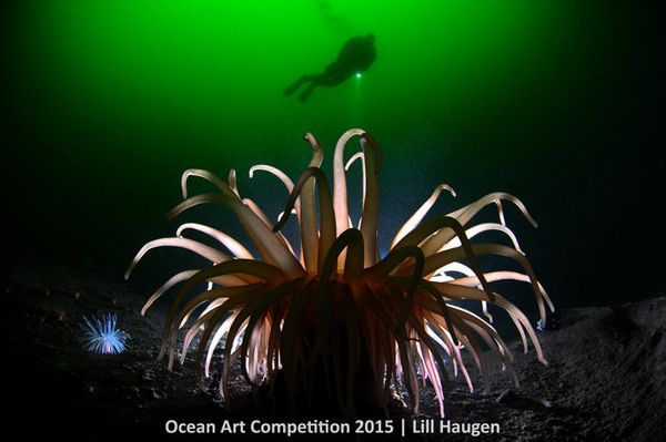 "1st Place, Cold Water: ""The 'Deeplet sea anemone'/North sea anemone (Bolocera tuediae) <a href=""http://www.uwphotographyguide"