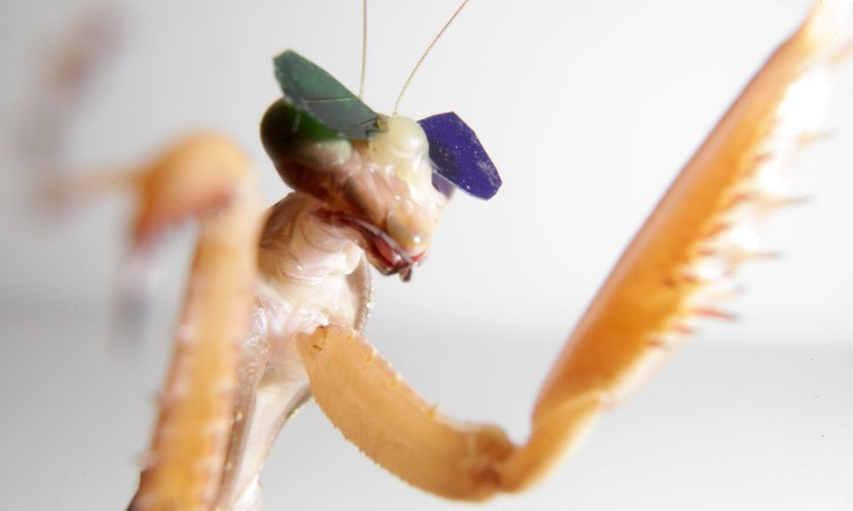 A close-up look at the tiny glasses with blue and green lenses, whichwere shown to work in mantises.