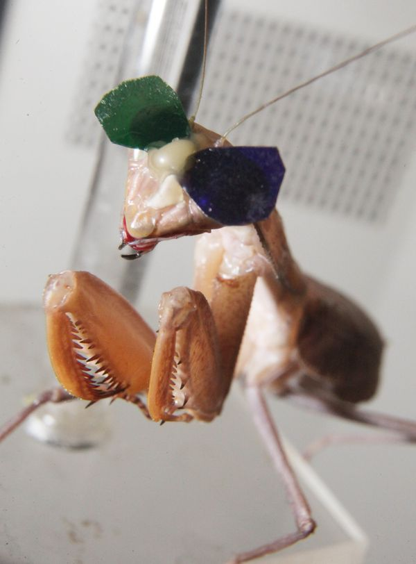 A praying mantis that was used in the study.