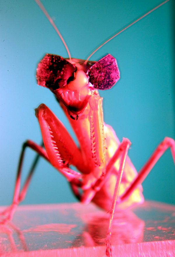 Mantises have poor vision in red light, so special blue and green lenses were made.