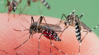 Female of the Asian Tiger Mosquito (Aedes albopictus) biting on human skin and bloodfeeding to generate a new egg batch. Invasive, potentially disease-carrying  species around the world, photographed in Catalonia, Spain, where it is present since 2004.