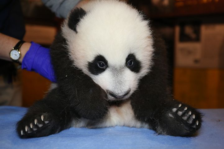 Bei Bei plops down for a checkup, Nov. 12, 2015.