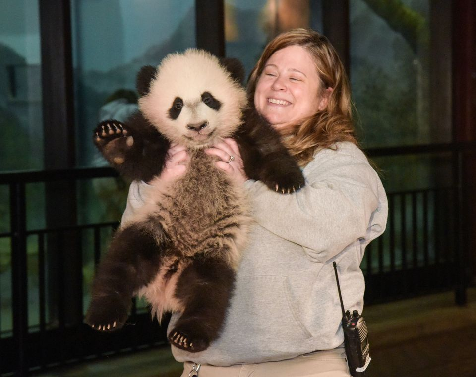 """4-month-old Panda """"Bei Bei"""" of U.S. National Zoological Park meets media after receiving a physical examination in Washington"""