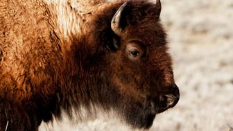 Close-up of a American bison (Bison bison), Yellowstone National Park, Wyoming, USA