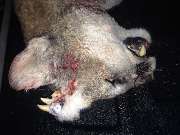 A young male mountain lion was recently found in Idaho with teeth and what may be whiskers growing out of its head.