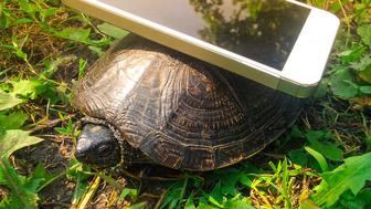 The phone is in the turtle