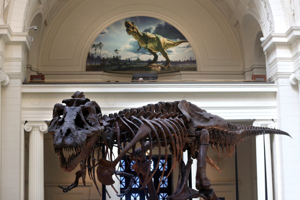 "In 1997, the Field Museum of Natural History in Chicago paid $8.36 million at auction for ""Sue,"" one of the largest, mos"