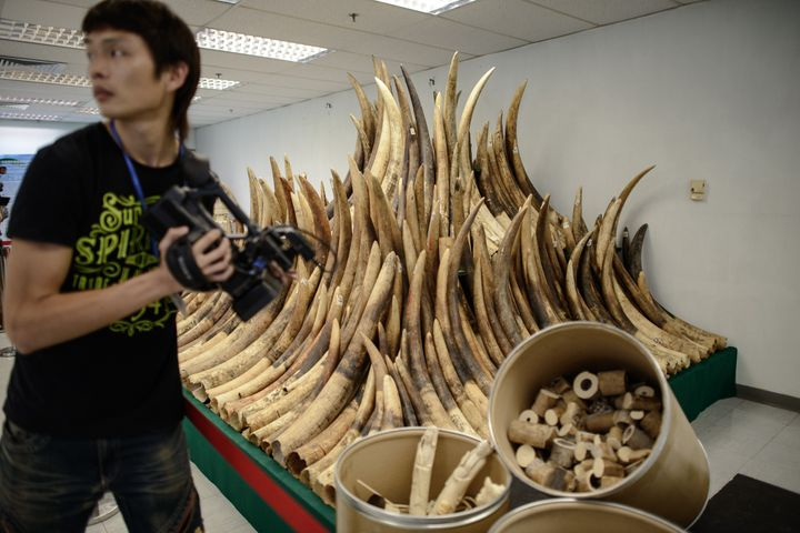 Seized ivory tusks in Hong Kong on May 15, 2014. On Wednesday, the city said it would be phasing out ivory sales.
