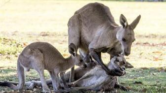 Grieving kangaroo is actually horny as a goat.