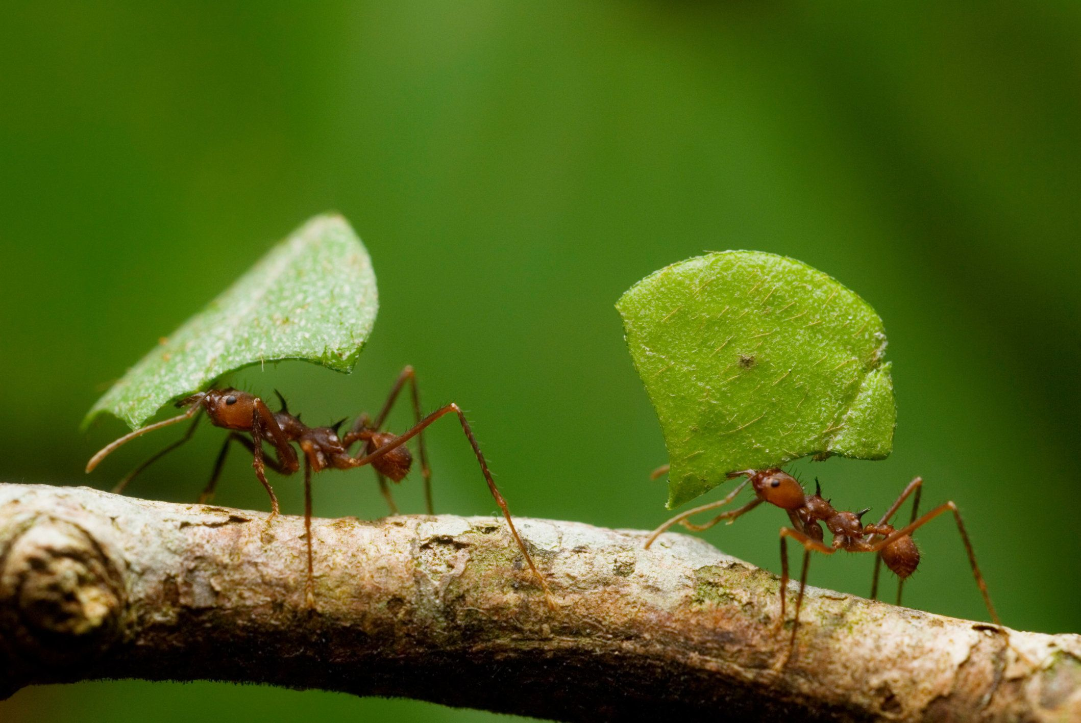 Leaf-cutter Ants (Atta sp.), Yavari River, Peruvian Amazon Rainforest.