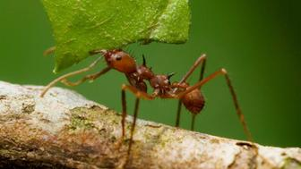 Leaf-cutter Ants (Atta sp.), Yavari River, Peruvian Amazon Rainforest.