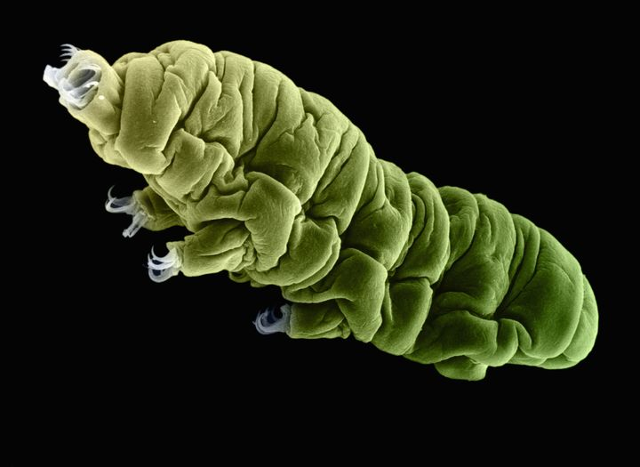 The previous record for a tardigrade being revived from a deep freeze was 8 years.
