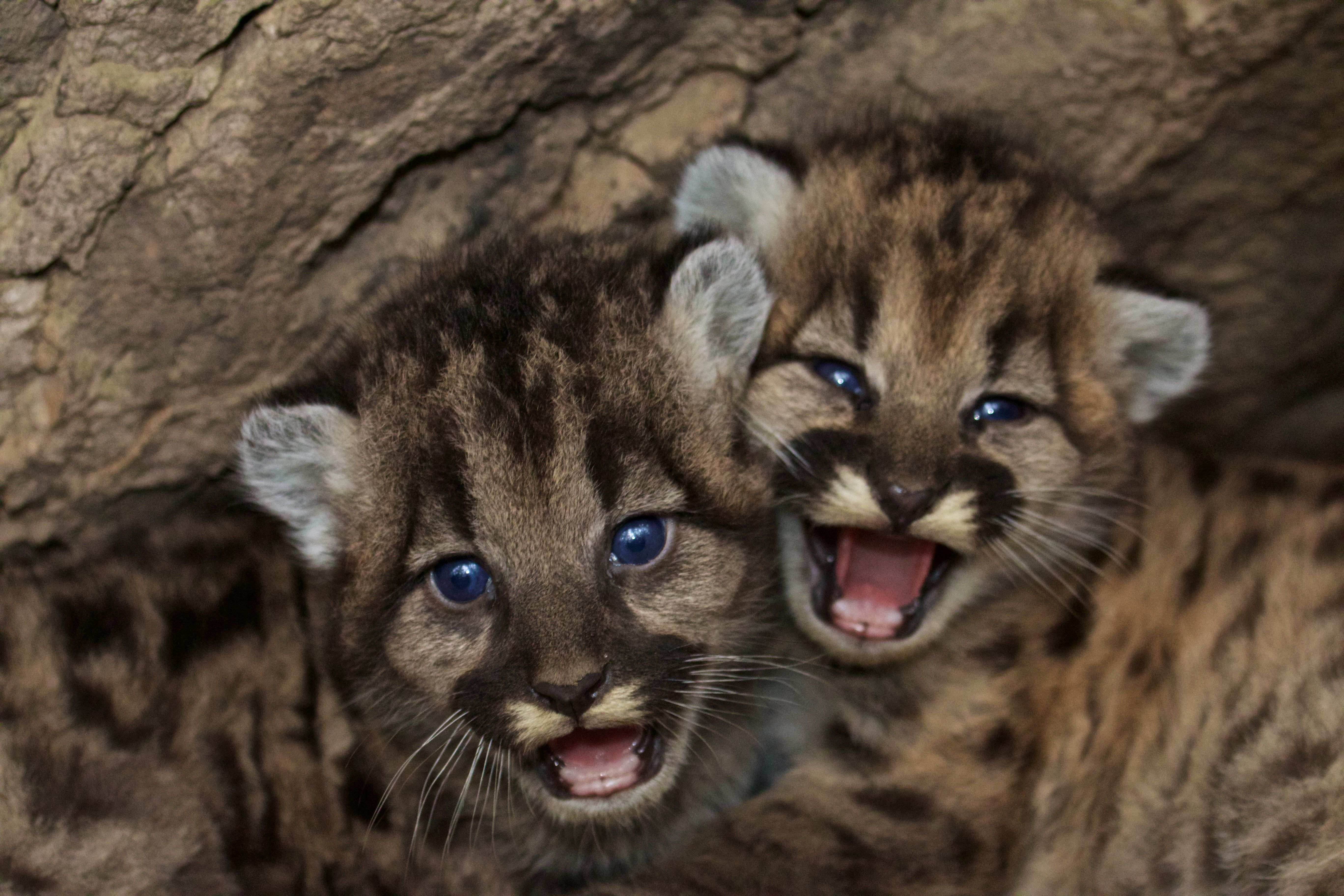 Two male and female mountain lion kittens, named P-46 and P-47, starin video shot in the Santa Monica Mountains.