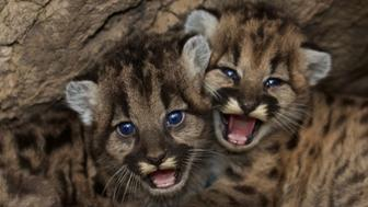 Two male and female mountain lion kittens, named named P-46 and P-47, are seen in video shot in the Santa Monica Mountains.