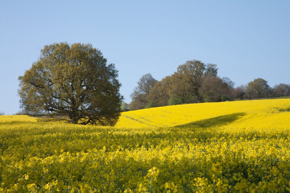 Frothy fields of rapeseed near Hartfield.
