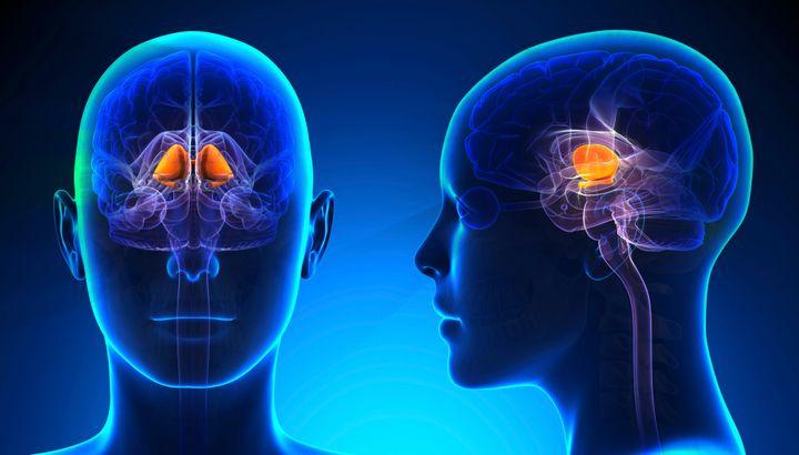 The basal ganglia in a female human brain.