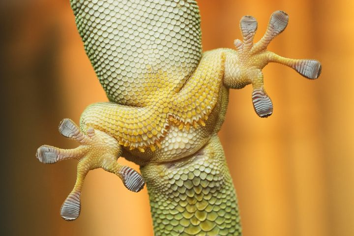 Scientists found that the sticky footpads on geckos were restricted by their body size.