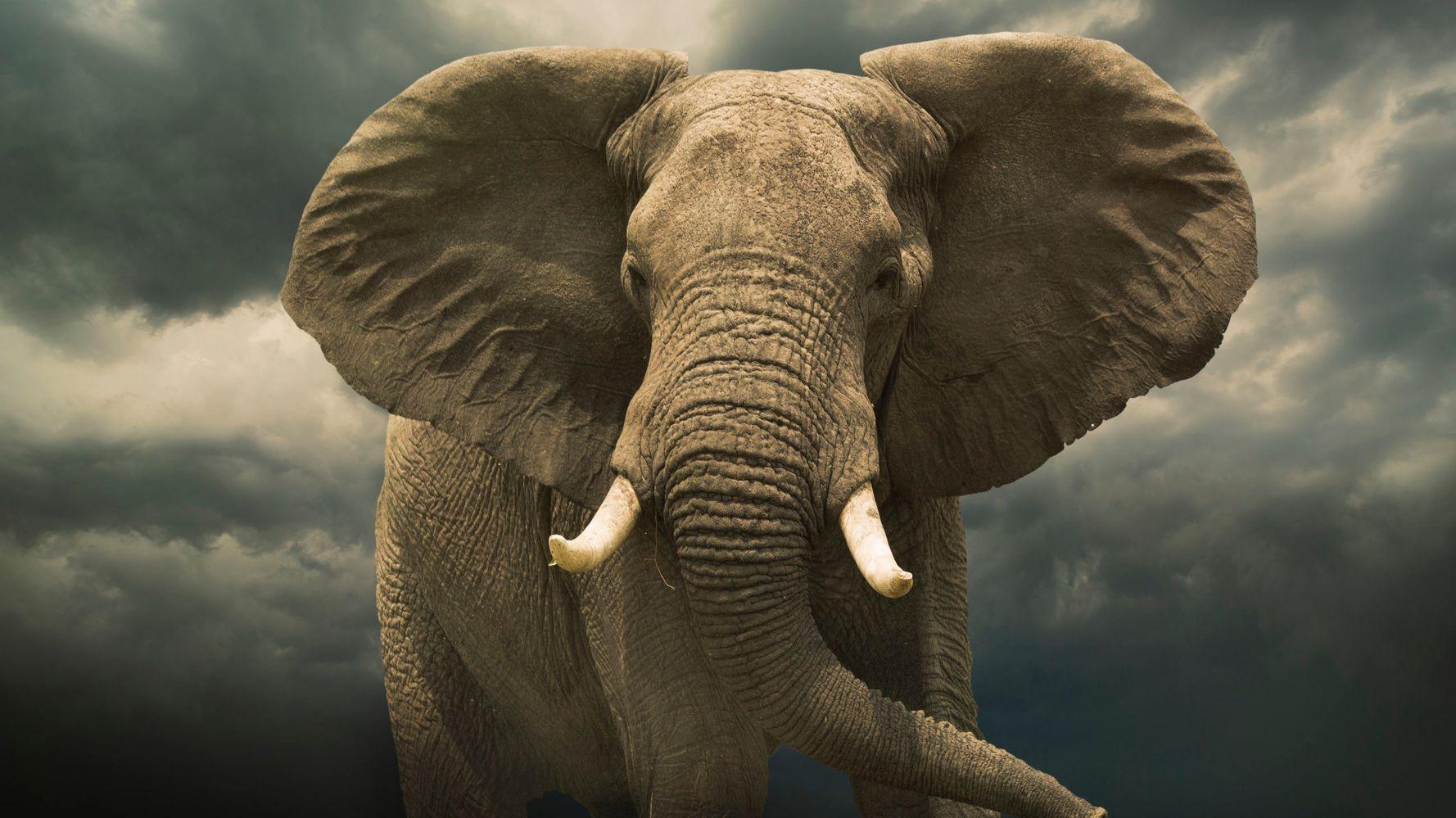 Elephant dick
