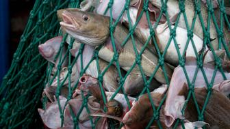 Fishing dragger hauls in net full of Atlantic Cod fish (Gadus morhua),Yellowtail Flounder (Limanda ferruginea) and American lobster (Homarus americanus). Stellwagen Banks, New England, United States, North Atlantic Ocean