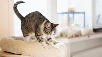 cute tabby cat kneading cushion at sunny day