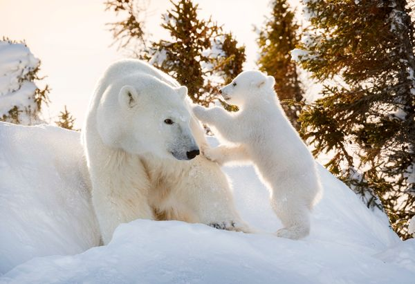 A polar bear cub decides to hitch a ride on mama's rump at Wapusk National Park in Manitoba, Canada.