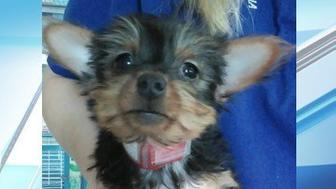 This stolen Yorkshire terrier was recently recovered thanks to is microchip.