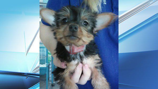 ThisYorkshire terrier puppy was recently recovered thanks to its microchip.