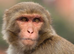Surgeon Claims Monkey Head Transplants Are A Reality