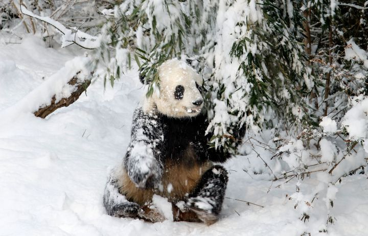 Giant panda bear Tai Shan tugs on a snow-covered bamboo branch at the Smithsonian National Zoological Park Feb. 3, 2010 in Wa