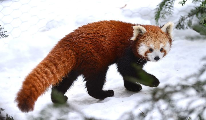 Red pandas seen at the Bronx Zoo on Dec. 15, 2013.