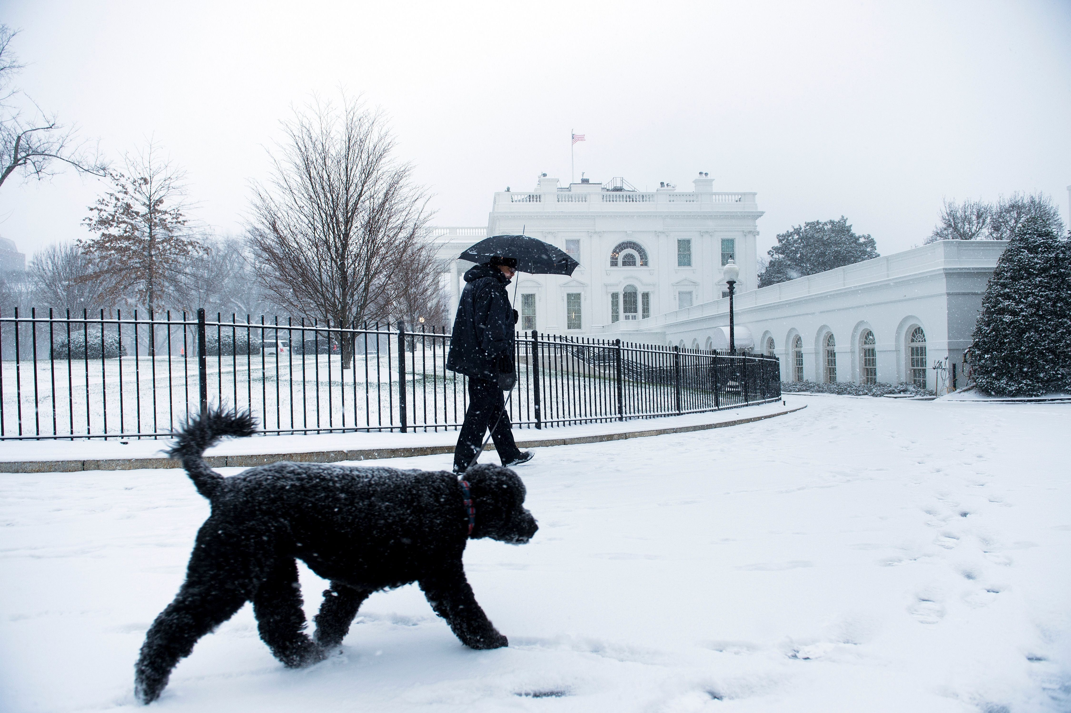 A staff member walks on of the Obama's dogs at the White House during a snow storm in Washington on January 22, 2016. Thousands of flights were cancelled and supermarket shelves were left bare Friday as millions of Americans hunkered down for a winter storm expected to dump historic amounts of snow in the eastern United States. / AFP / Brendan Smialowski        (Photo credit should read BRENDAN SMIALOWSKI/AFP/Getty Images)