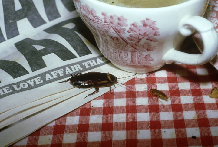 An American cockroach enjoying a picnic.
