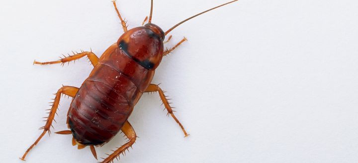This Surinam cockroach does not need a man. And it's a good thing, because there aren't any.