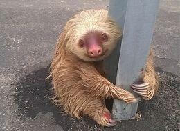 Lost Sloth Tries To Cross The Road, Gets Stranded In The Most Adorable Way