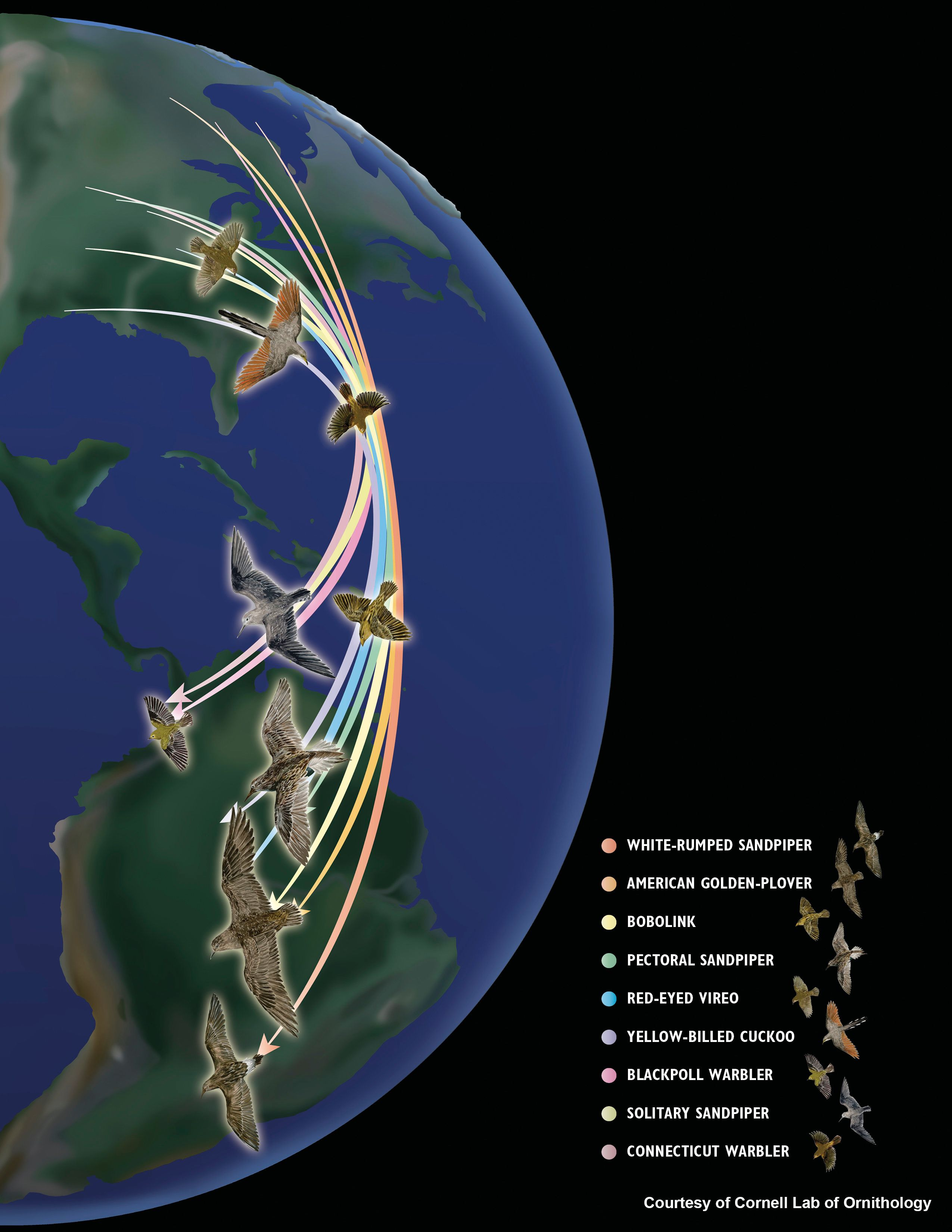 Migratory patterns of birds across North America and South America.