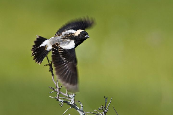 A bobolink flying off a branch in Ontario, Canada.