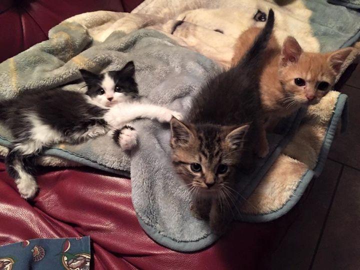 munchkin kittens for sale california