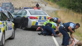 QUEENSLAND, NEW ZEALAND - JANUARY 22 (AUSTRALIA & NEW ZEALAND OUT)  A flock of sheep on Littles Rd stopped a 90 minute police car chase when four people were arrested near Queenstown, New Zealand. A Queenstown police officer's flock of sheep joined the line of duty. The sheep were being moved along Littles Rd when they became the road block finishing a 90 minute police car chase through Central Otago and Queenstown.Senior Sergeant Paula Enoka, of Queenstown, said the flock belonged to a local officer and happened to be in the right place at the right time. (Photo by Che Baker/Fairfax Media via Getty Images)