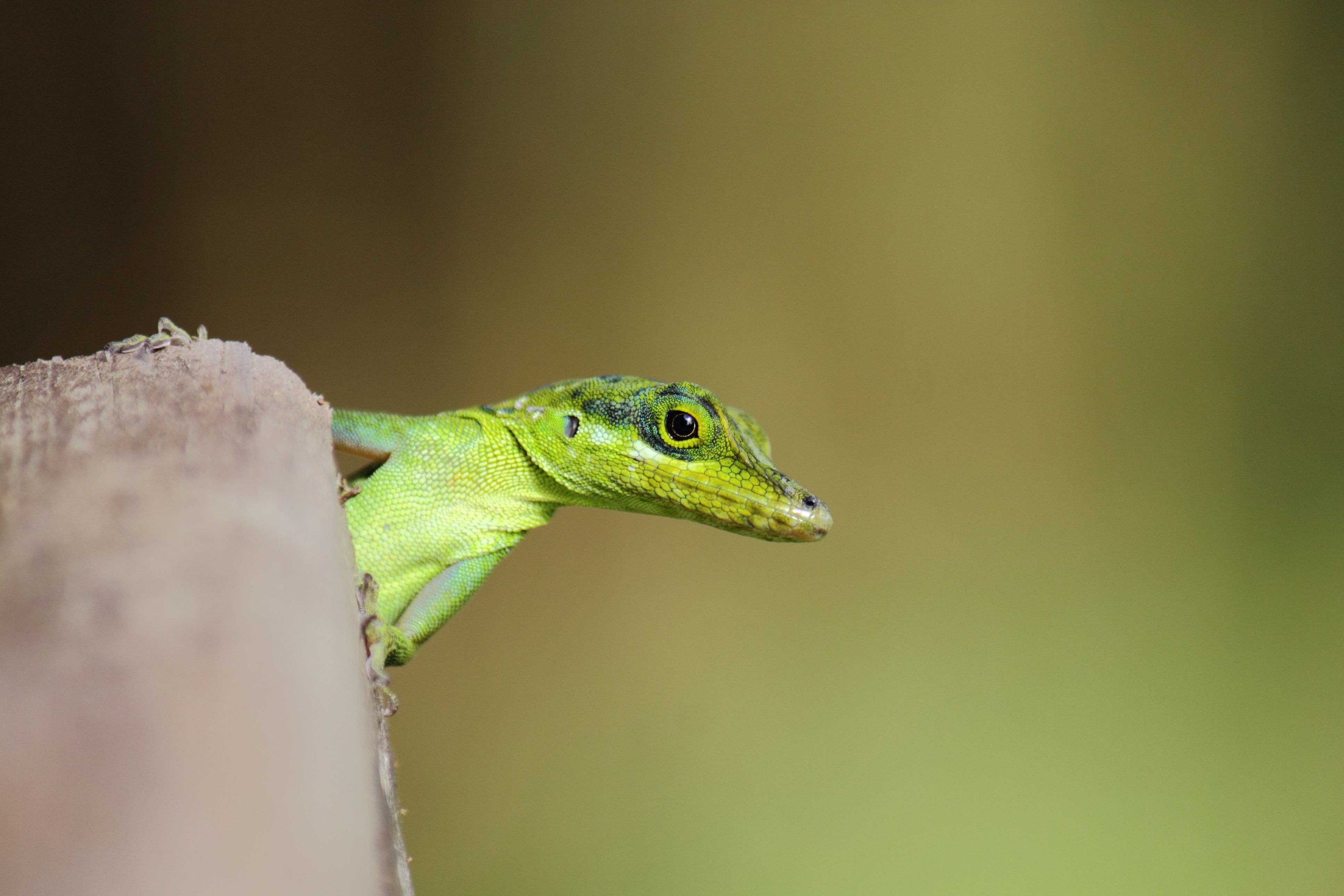 Martinique's anole (Anolis roquet), also called savannah anole, is a species of anole lizard. It is endemic to the island of Martinique, located in the Caribbean Lesser Antilles.