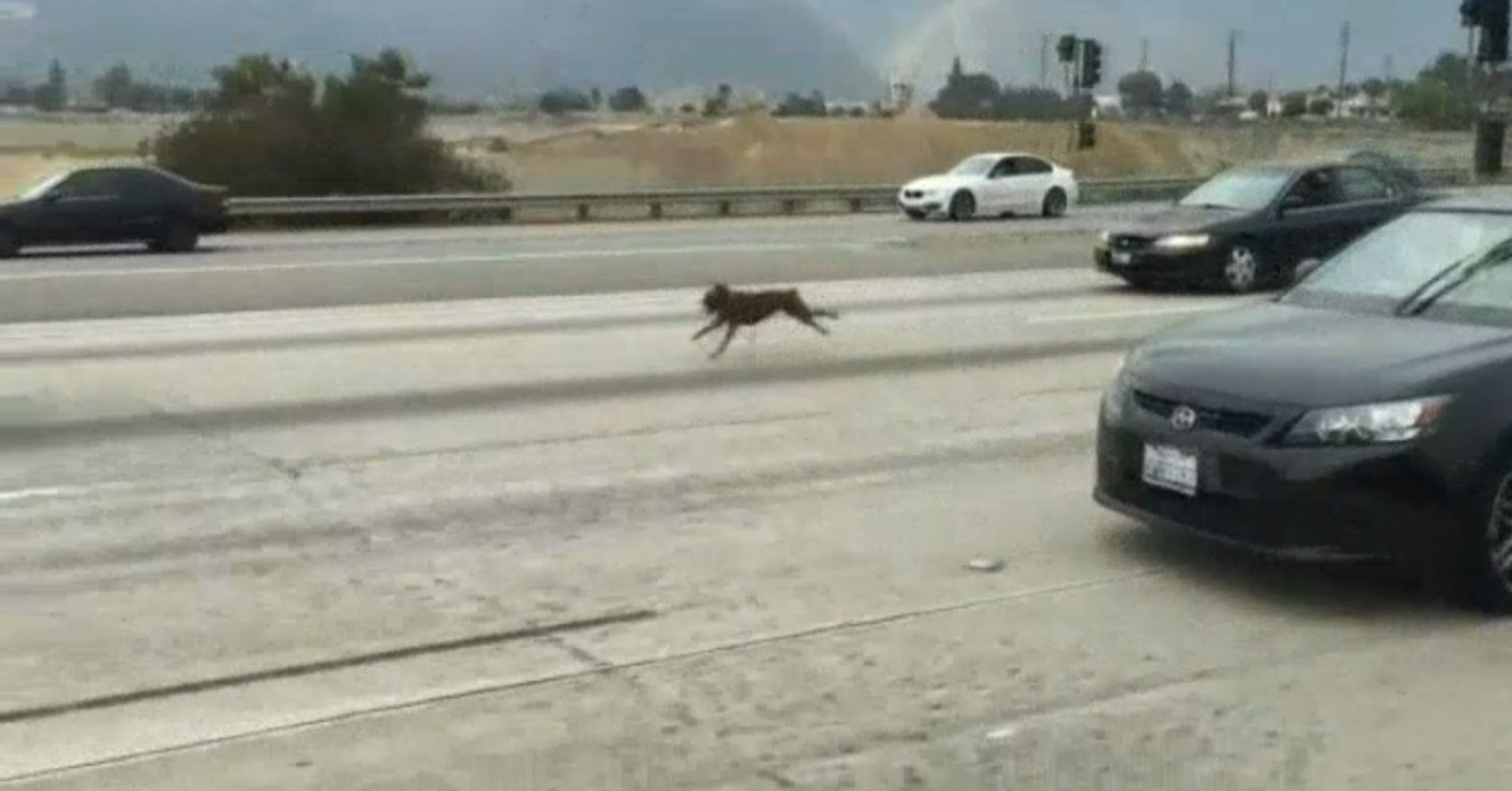 Watch Heroic Drivers Rescue 2 Scared Dogs Dashing Down Freeway