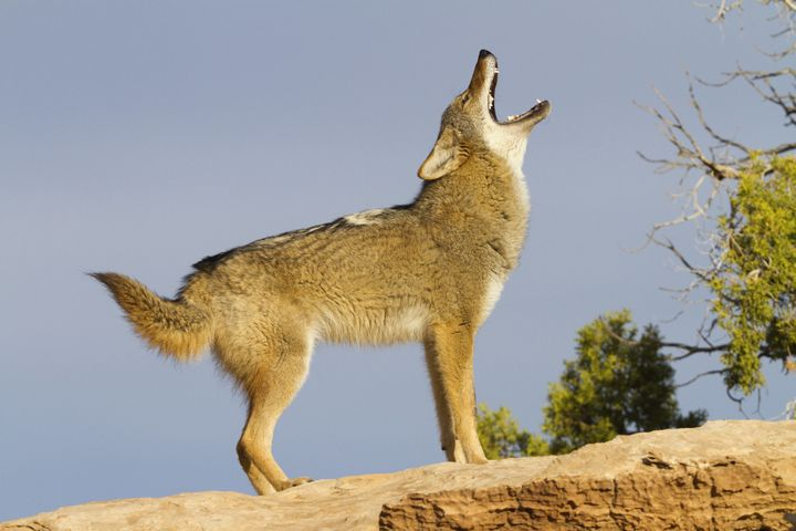 A file image of a coyote. Coyotes exhibiting strange behavior in Northern California may have been eating hallucinogenic