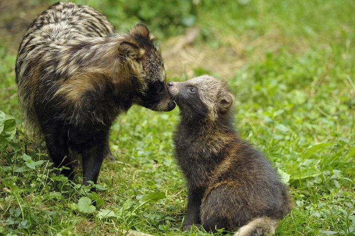 A mother raccoon dog in the wild with her pup.