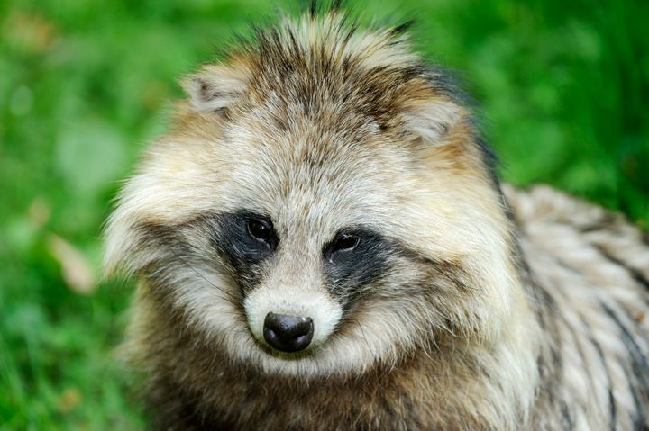 Portrait of a raccoon dog.