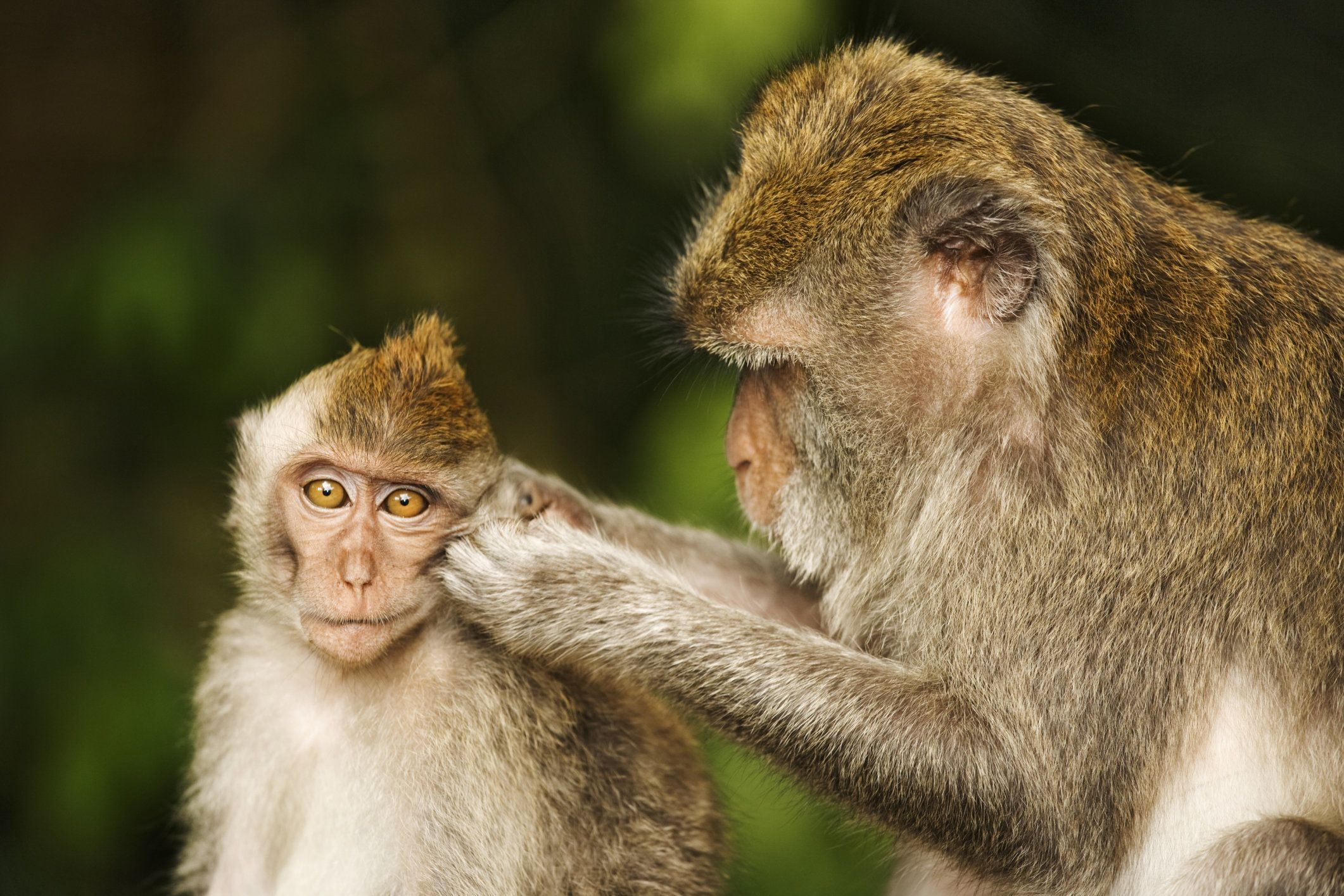 """Primates have also been used in recent years to study <a href=""""http://animalresearch.thehastingscenter.org/report/using-monke"""